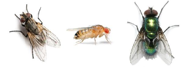 Différentes mouches
