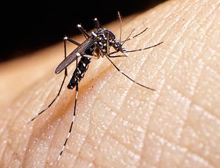 Aedes albopictus, le moustique tigre